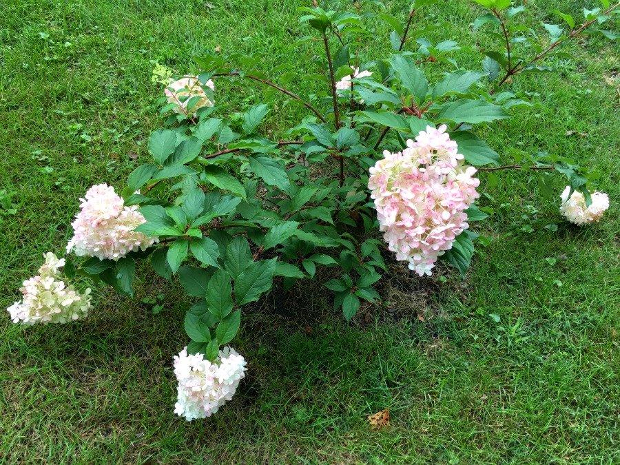 Fresh Hydrangea Door Wreath-gcc-plants