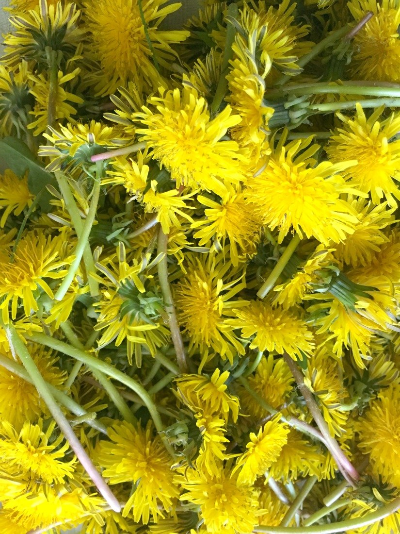 Something sweet about dandelions-gcc-flowers
