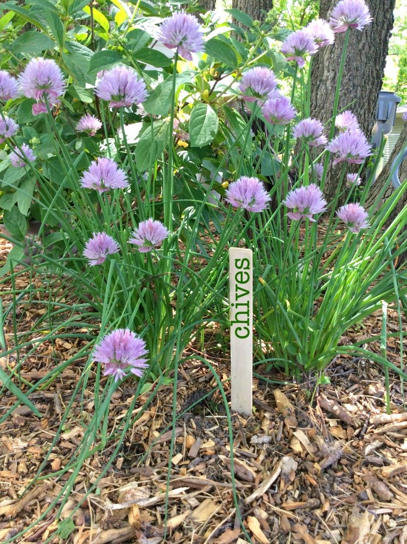Delicious use for homegrown chives-gcc-garden